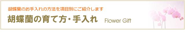 胡蝶蘭の手入れ