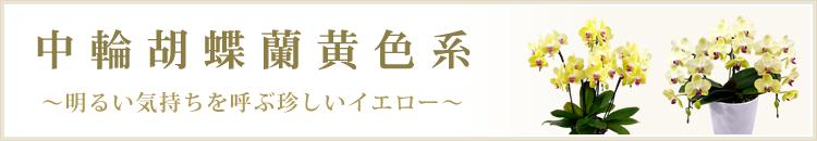 大輪胡蝶蘭黄色系
