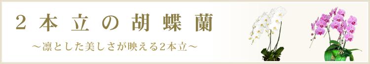 2本立の胡蝶蘭